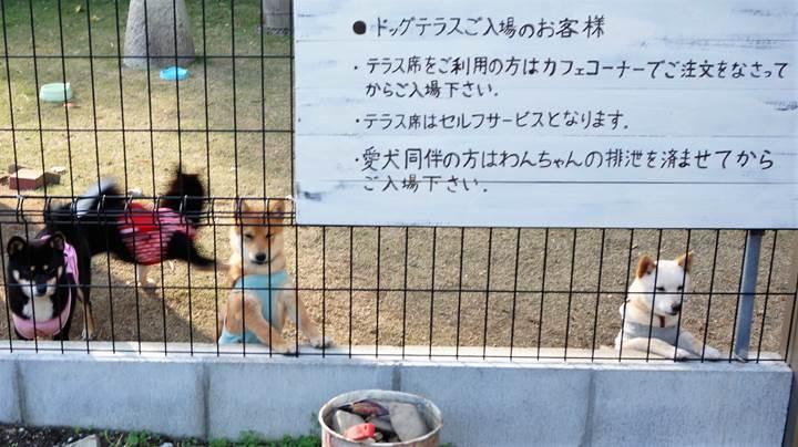 """Mameshiba Dog Cafe """"momoca"""" in Kochi Pref. 豆柴ドッグカフェ「momoca」高知県"""