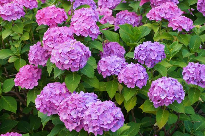 Hydrangea あじさい 紫陽花