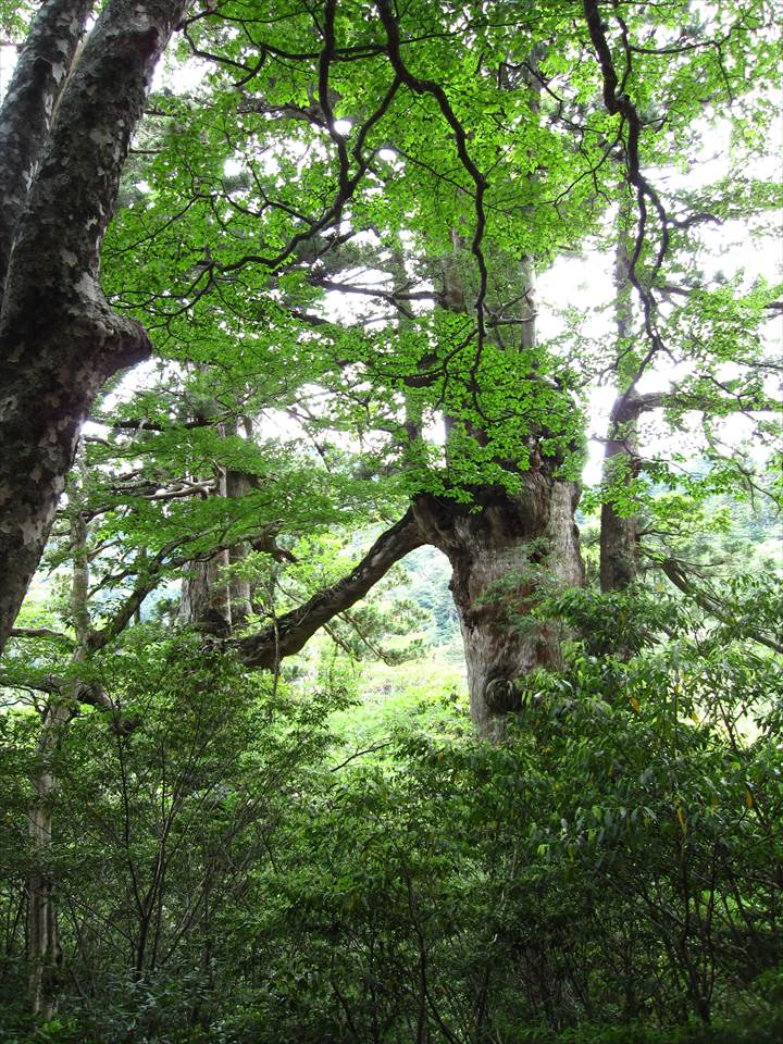 Yakushima Island National Park, World Natural Heritage in Japan 世界自然遺産 屋久島