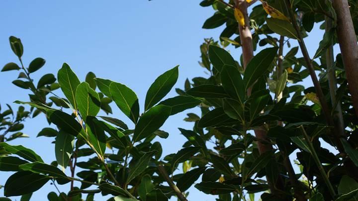 Laurel ローリエ(ローレル)月桂樹